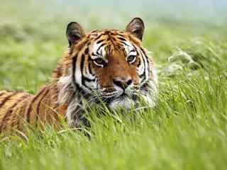草地上匍匐的老虎图片桌面壁纸