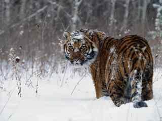 冬季雪地里觅食的老虎图片桌面壁纸