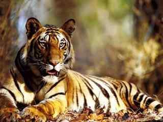 森林里休息的老虎图片桌面壁纸