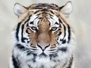 威风八面的老虎图片桌面壁纸