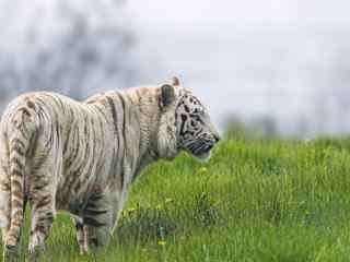 草地上的白虎图片高清桌面壁纸