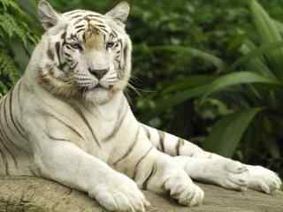 休息的白虎图片高清桌面壁纸