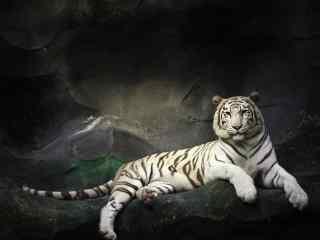 好看的孟加拉白虎图片桌面壁纸