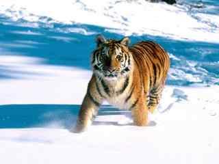 雪地里前进的东北虎图片桌面壁纸