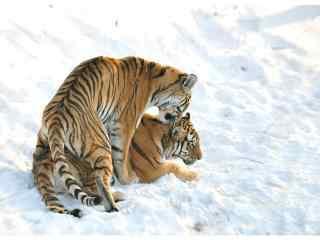 雪地里甜蜜恩爱的两只老虎图片