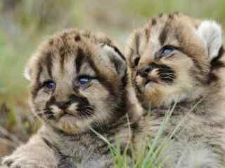 超可爱的两只小老虎图片桌面壁纸