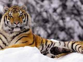 可爱的老虎在雪地里图片高清桌面壁纸