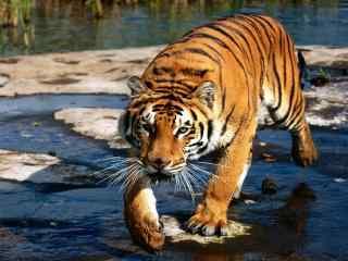 森林里的老虎图片桌面壁纸
