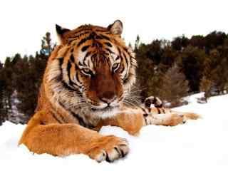 老虎可怕眼神图片桌面壁纸
