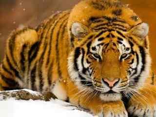 雪中等待猎物的老虎图片桌面壁纸
