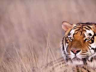 草原上隐蔽的老虎图片桌面壁纸