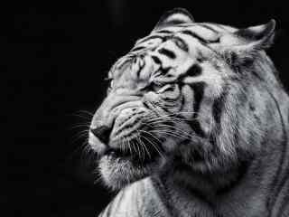 帅气的白虎头像图片高清桌面壁纸