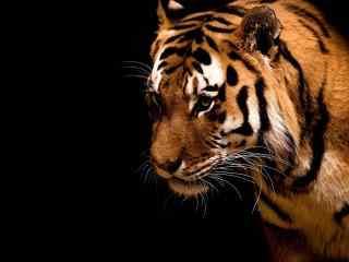 凶猛的老虎图片高清桌面壁纸