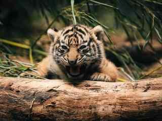 怒吼的小老虎可爱图片桌面壁纸
