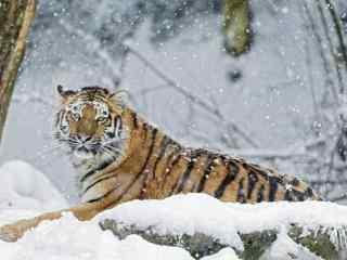 雪中拍摄到的老虎图片桌面壁纸