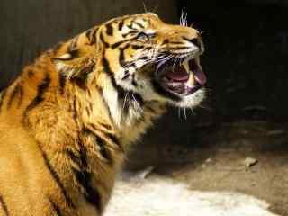 老虎图片高清桌面壁纸