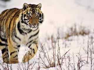 唯美雪地里的老虎图片桌面壁纸