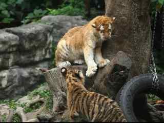 两只小老虎嬉闹图片可爱桌面壁纸