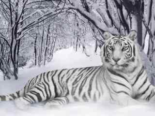 雪地里的白虎图片高清桌面壁纸