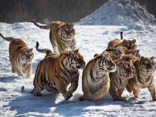 雪地里嬉闹的一群老虎图片