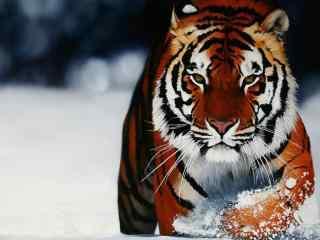 凶猛的老虎在雪地里行走图片高清桌面壁纸