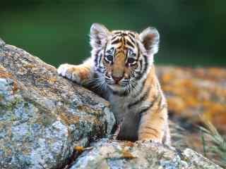 小老虎趴石头上可爱图片桌面壁纸