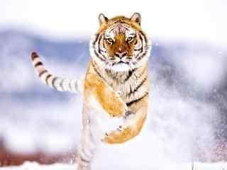 雪地上奔跑的老虎霸气图片桌面壁纸