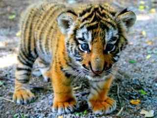 蓝眼睛的小老虎图片桌面壁纸