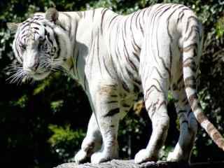 漂亮的一头白虎图片高清桌面壁纸
