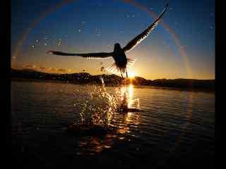 夕阳下展翅高飞的