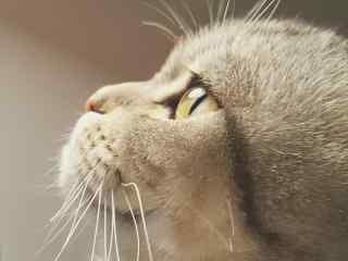 可爱猫咪的侧脸桌