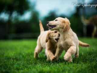 两只小狗在草坪上
