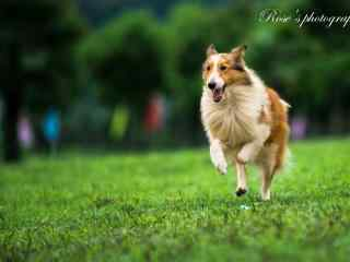 小狗在草坪上奔跑