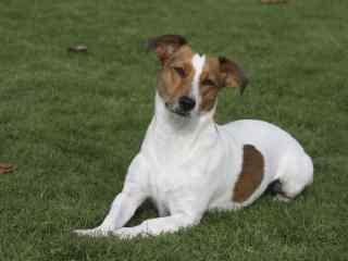 可爱的草地上的小狗桌面壁纸
