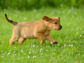草地上的奔跑黄色狗狗壁纸