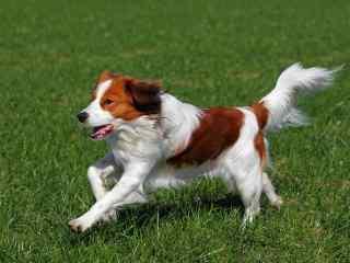 草地上奔跑的小狗桌面壁纸