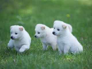 草地上的小奶狗图片壁纸