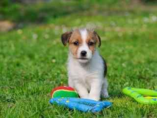 可爱的草地上的狗狗壁纸