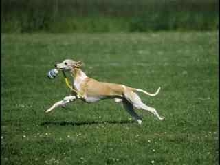 草地上奔跑的狗狗壁纸
