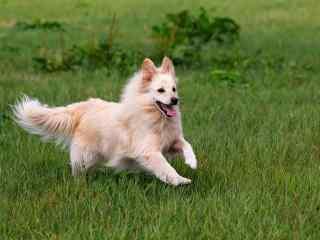 草地上欢快奔跑的狗狗壁纸