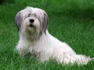 趴在草地上的狗狗高清壁纸