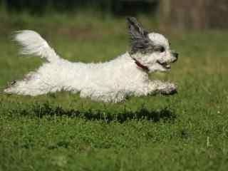 草地上的飞奔的白色狗狗壁纸