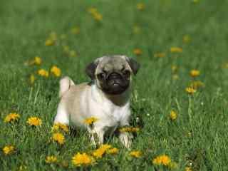 草地上的可爱小狗桌面壁纸