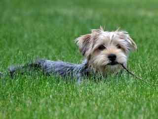 草地上的呆萌的小狗桌面壁纸