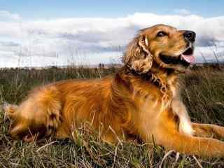 草地上的可爱金毛狗狗桌面壁纸
