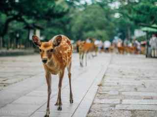 奈良鹿—排排走的小鹿们桌面壁纸
