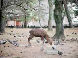 奈良鹿—麋鹿和鸽子玩耍桌面壁纸