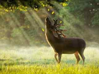 奈良鹿—扬长脖子的麋鹿桌面壁纸