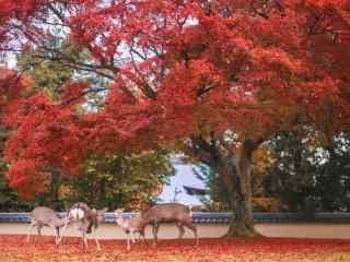 奈良鹿—红叶林下的一群小鹿桌面壁纸
