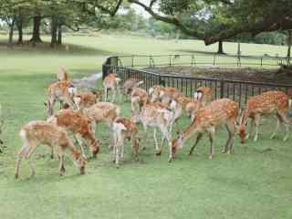 奈良鹿—一群活泼可爱的小鹿桌面壁纸